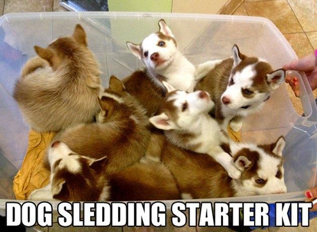 Box full of Husky puppies. Caption: Dog sledding starter kit