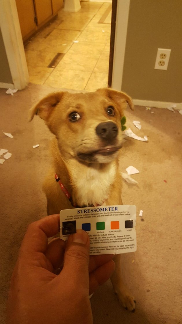 "Dog looking dubiously at owner holding ""Stressometer"" card."