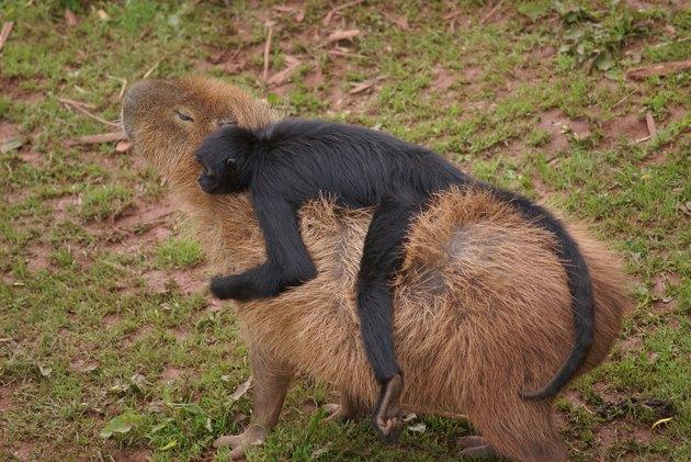 Capuchin monkey riding capybara.