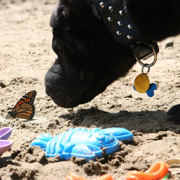 Dog sniffing butterfly on sand.