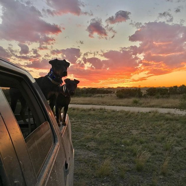 Jagdterriers in truck