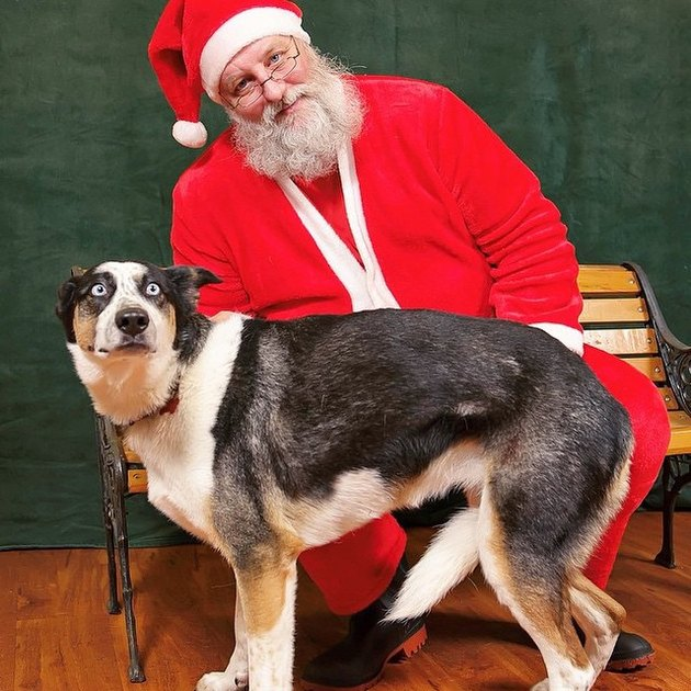Startled dog standing in front of Santa.