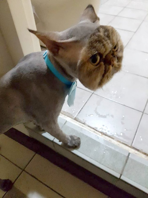 This Is What Happens When A Friend Takes Your Cat To The Groomer
