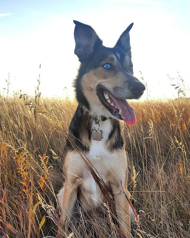 Gerberian Shepsky in field