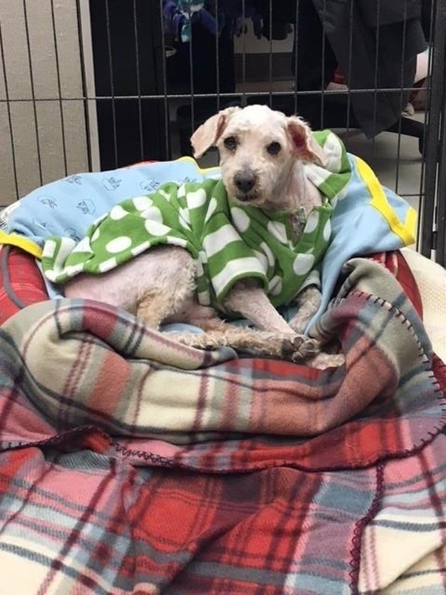 Neglected Chicago dog with severely matted coat gets epic shave and sweater makeover