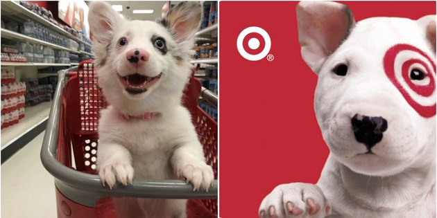 Dog in shopping cart can't believe how cool Target is