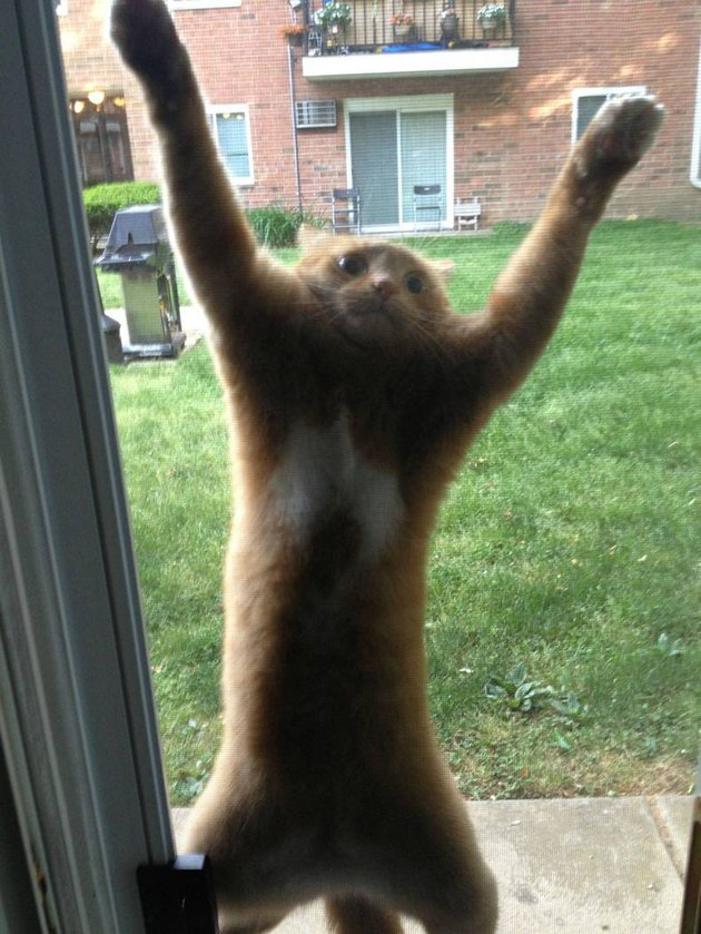 Cat clinging to screen door.