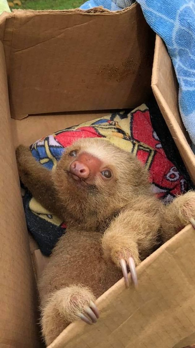 Tourists rescue baby sloth from Costa Rican beach