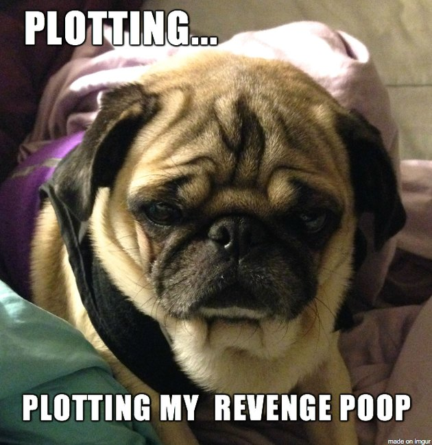 "Pensive pug with caption: ""Plotting... plotting my revenge poop."""