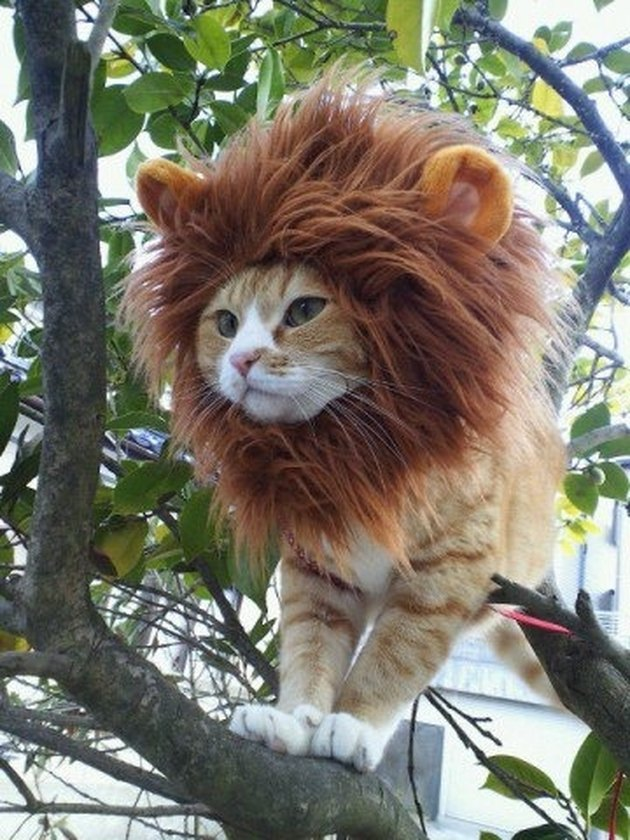 Cat dressed as a lion.