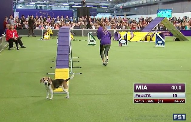 Distracted dog loses focus during obstacle course run
