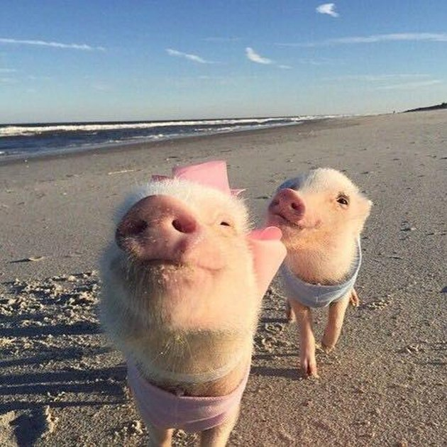 Pigs on the beach