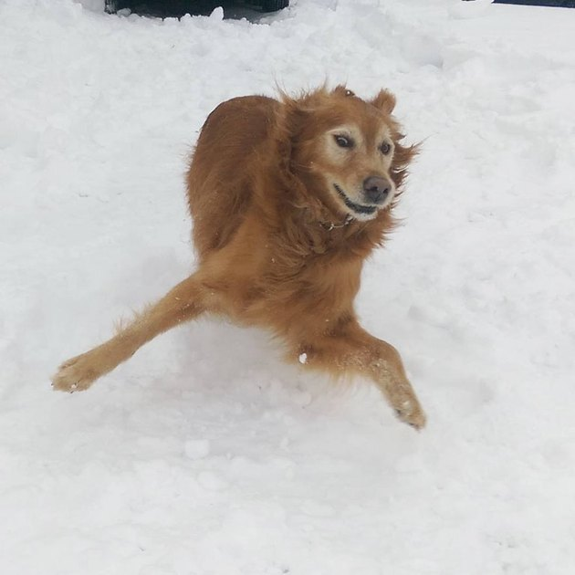 Golden retriever awkwardly running in snow.