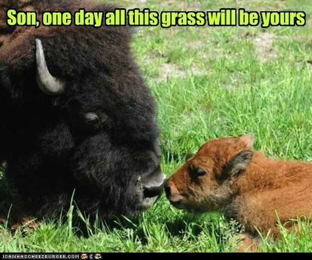 Bison in grass.