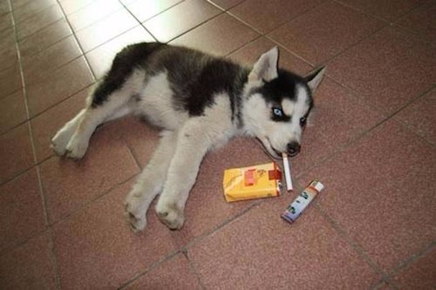Husky puppy posed with cigarettes and lighter.