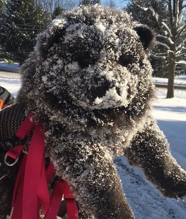 Black Chow Chow with its face covered in snow