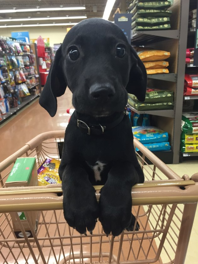 Puppy in shopping cart.