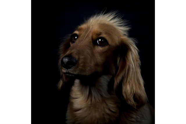 25 dogs with gold star headshots