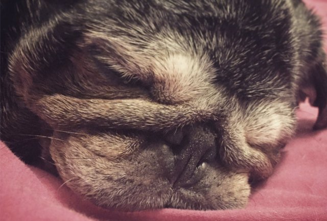 Cute pug closeup