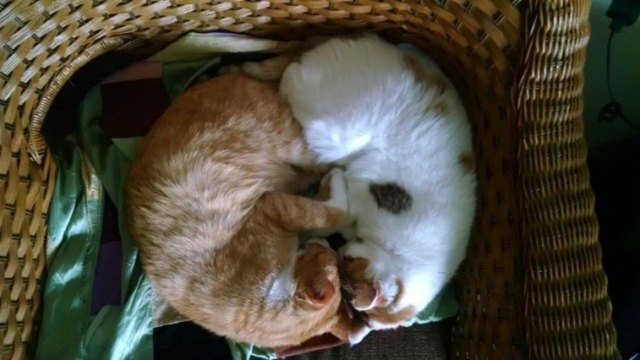 Two cats sleeping together in a basket