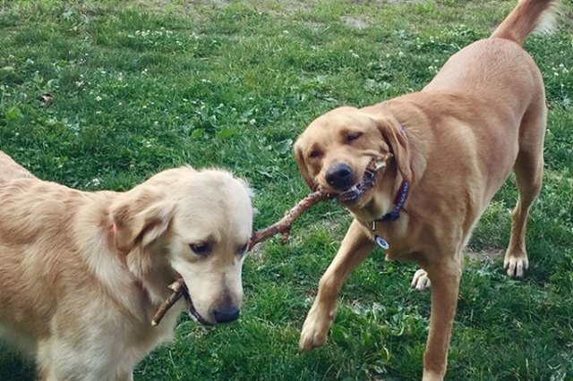 two dogs with a stick in their mouths