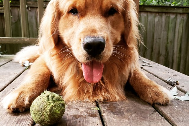 Golden Retriever with dirty tennis ball