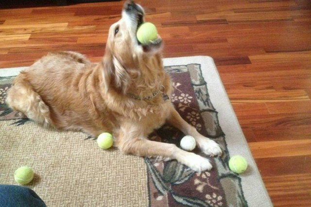 Golden retriever with many tennis balls