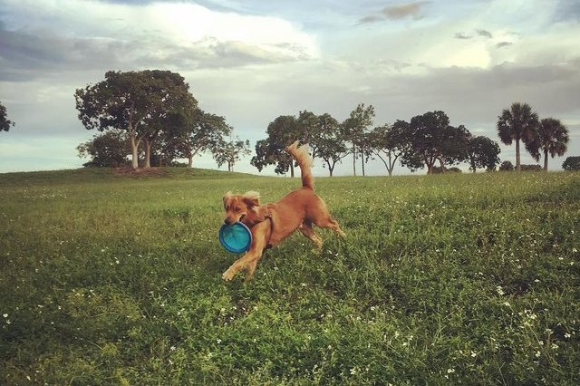 dog running though a field with a frisbee