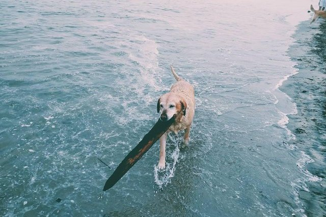 dog carrying stick in the water
