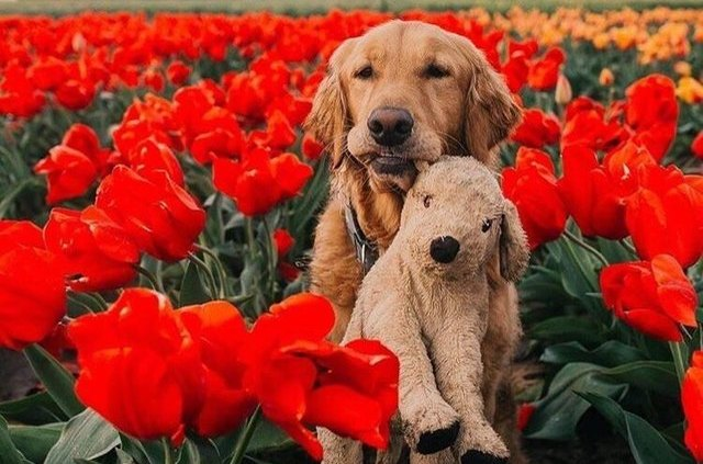 dog with stuffed animal in field of flowers
