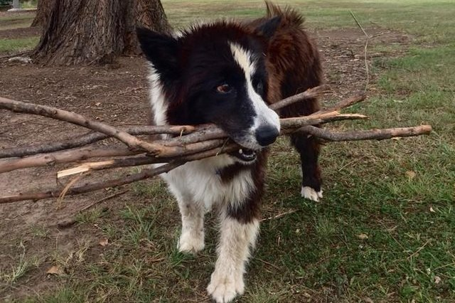 dog with bundle of sticks in mouth