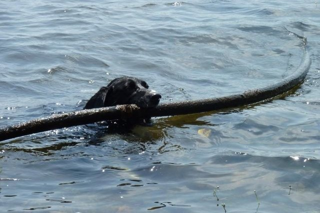 dog with large pipe in its mouth in the ocean