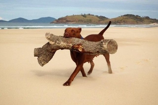 dog with large log on beach