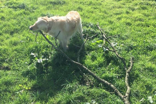 dog with huge tree branch in mouth