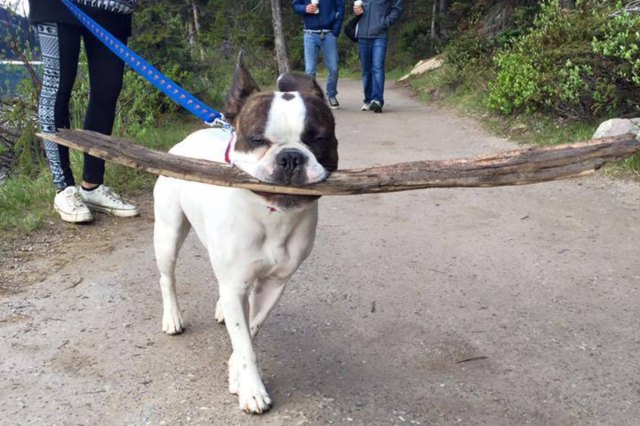 small dog with huge stick in mouth