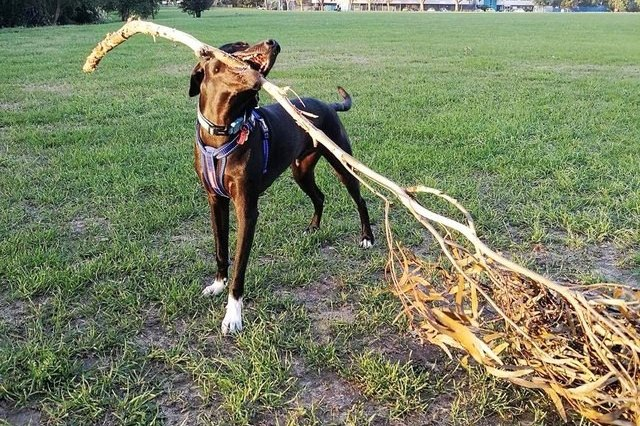 dog with huge branch in mouth