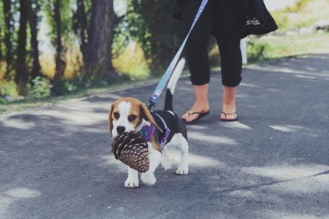 small dog carrying big pinecone