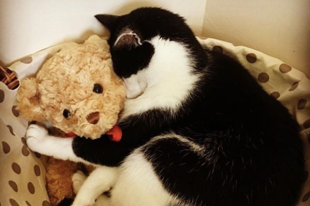 black and white cat with teddy bear