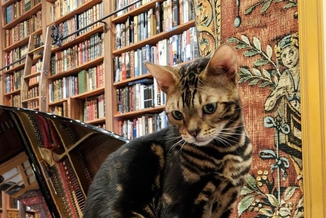 cat looking down at books