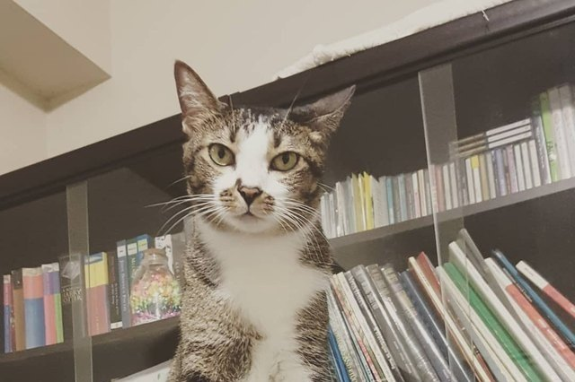 cat looking threatening in a library
