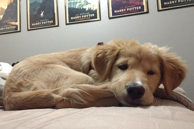 small Golden Retriever chewing his tail