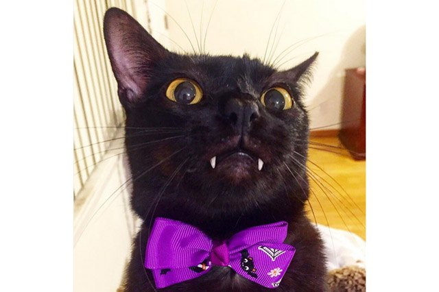 Black cat with fangs and a purple Halloween bow tie