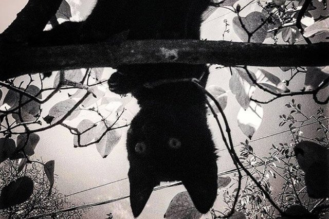 Black and white photo of a cat hanging upside down in tree