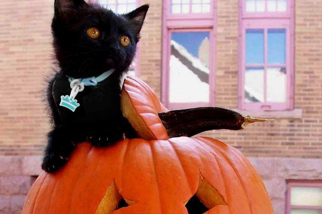 Black kitten sitting in a jack o lantern.