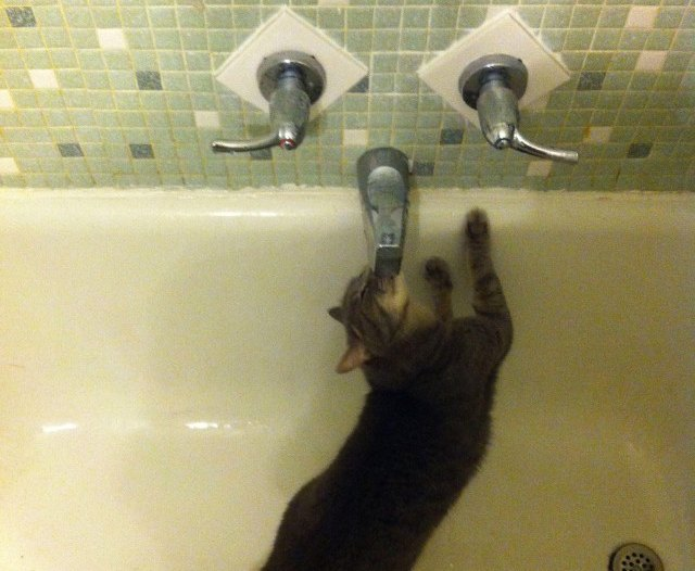 cat drinking from bath faucet