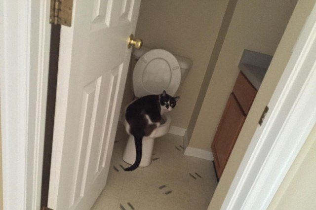 black and white cat drinking from toilet