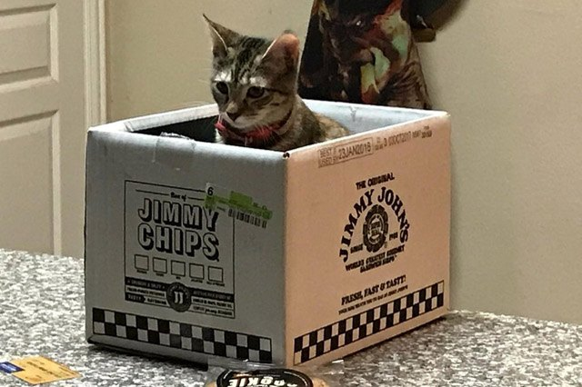 Cat sitting in a shipping box for Jimmy John's chips.