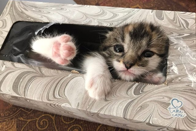 Kitten in a box of tissues.