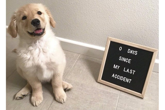 "Proud puppy sitting by a sign that says ""0 days since my last accident"""