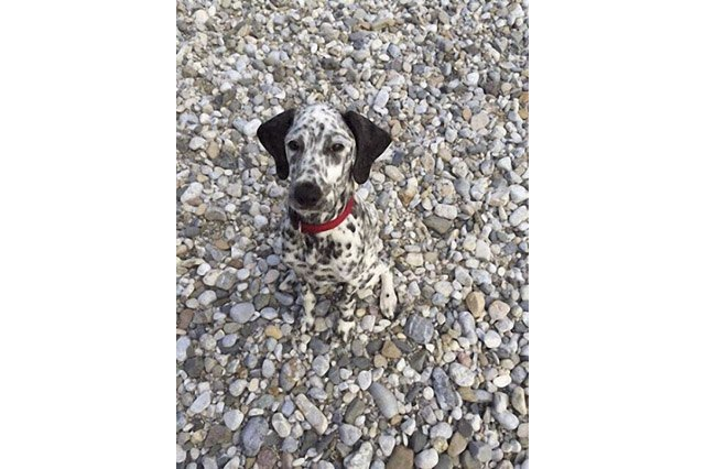 Spotted dog on rocky beach.